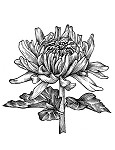 CHRYSANTHEMUM RUBBER STAMP AND MATCHING DIE COMBO